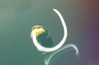 a cannabis seed