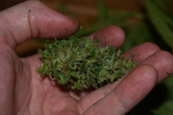 marijuana bud in hand touching