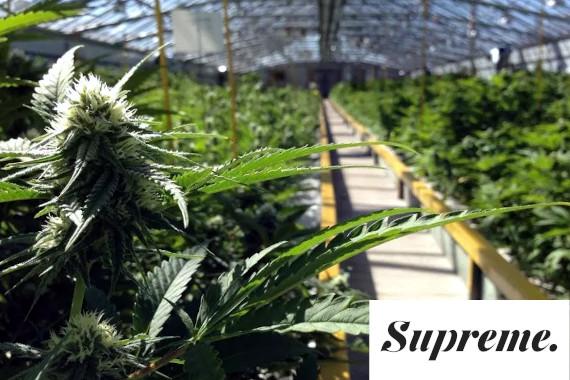 supreme cannabis company stock