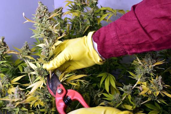 Harvesting Cannabis Oklahoma Medical Marijuana