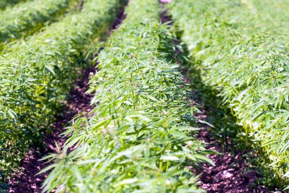 hemp farm growing for cbd oil