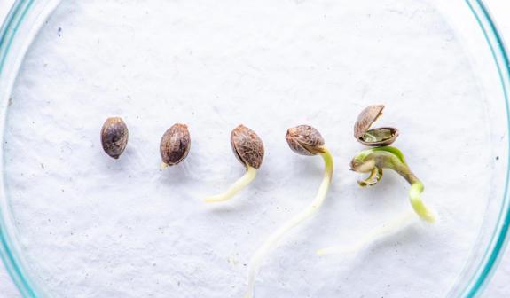 marijuana seed genetics